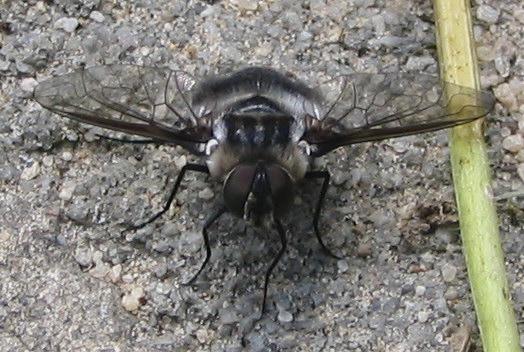 Fly - Villa hypomelas