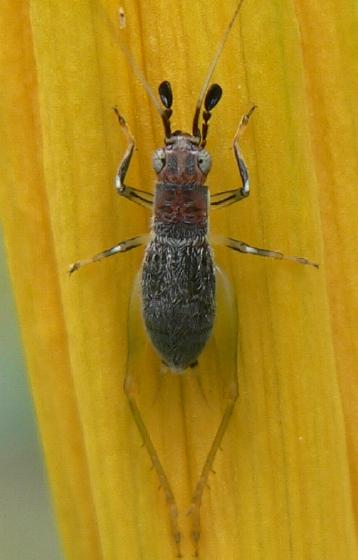immature Red-headed Bush Cricket - Phyllopalpus pulchellus - male