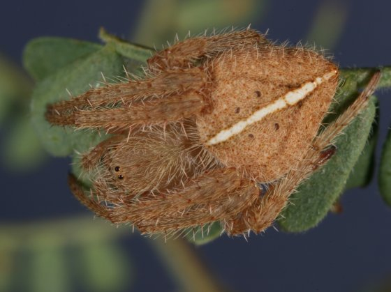 Eriophora species - Eriophora edax