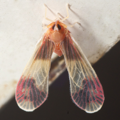Derbid Planthopper - Anotia uhleri