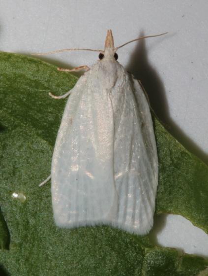 Tortricidae, Maple-Basswood Leafroller, emerge - Cenopis pettitana