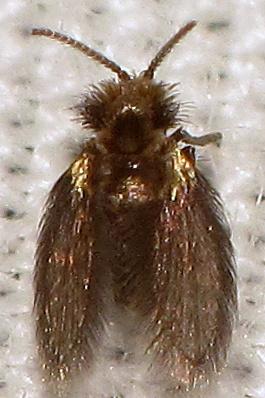 Psychodidae - Trichomyia