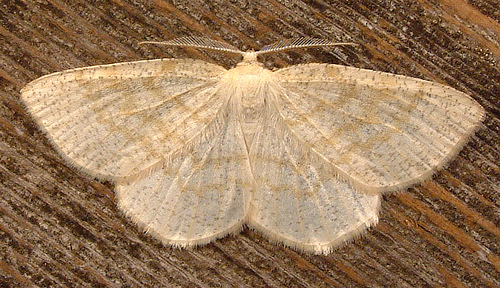 902 Yellow-dusted Cream Moth 6677 - Cabera erythemaria - male