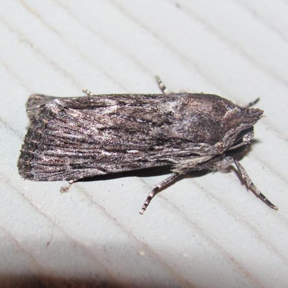 Lantana Stick Moth, #10032 - Neogalea sunia
