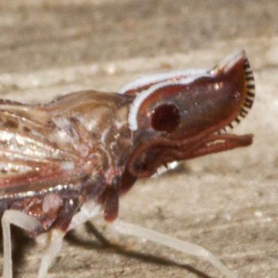 Derbid Planthopper - Apache degeeri