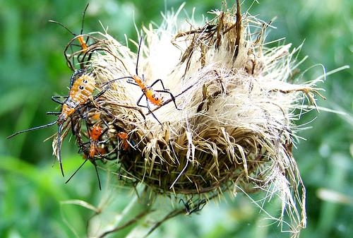 Orange bugs on thistle - Leptoglossus phyllopus