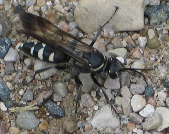 white-trimmed black wasp - Episyron quinquenotatus