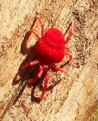 red mite - Trombidium