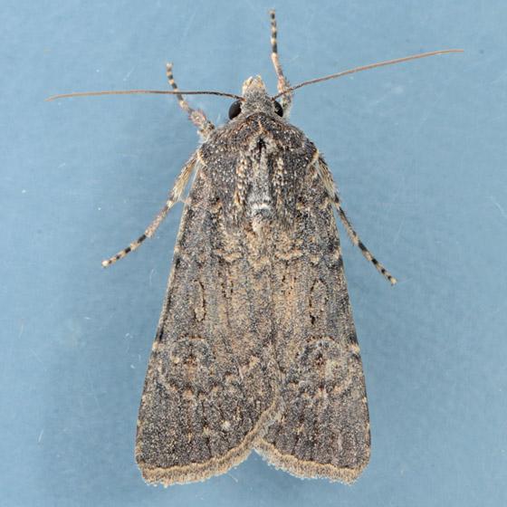 Moth for ID  - Euxoa selenis