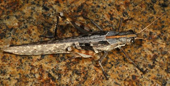 grasshopper - Schistocerca nitens - female