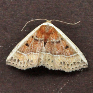 Moth 5  - Oruza albocostaliata