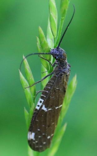 Insect ID? - Nigronia serricornis