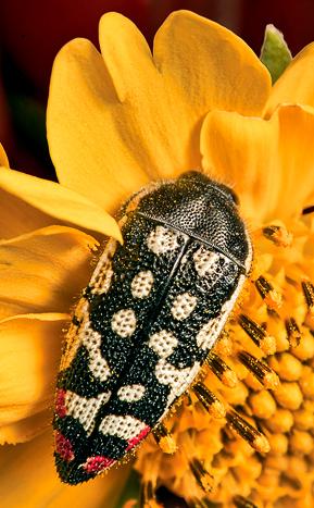 unknown bug - Acmaeodera disjuncta
