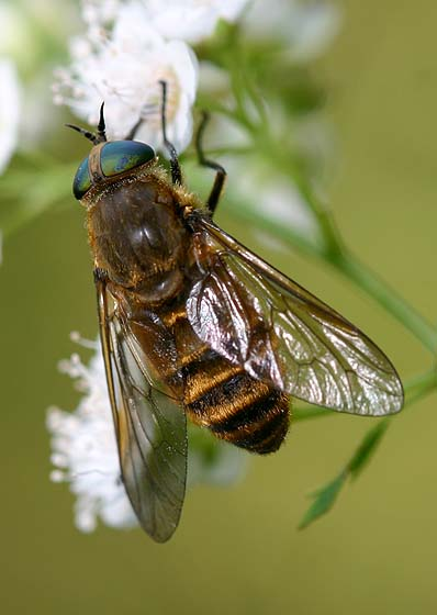 Tranquil Horse fly - Stonemyia tranquilla - female