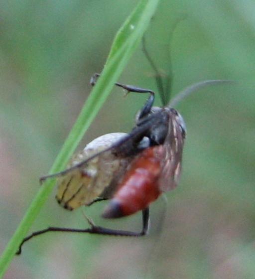 pompilid with lynx - Ageniella arcuata