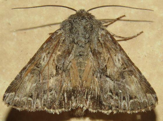 Hodges#9353 - Apamea inordinata