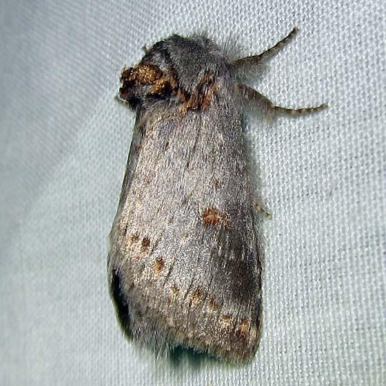 moth – Notodontidae - Theroa zethus