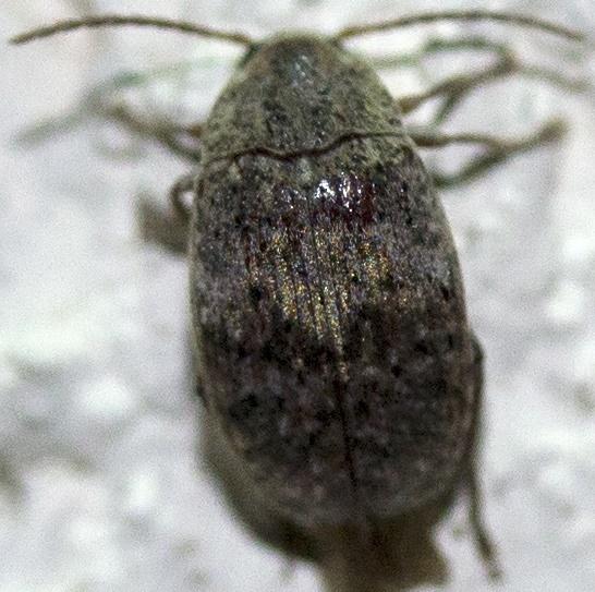Beetle - Amblycerus