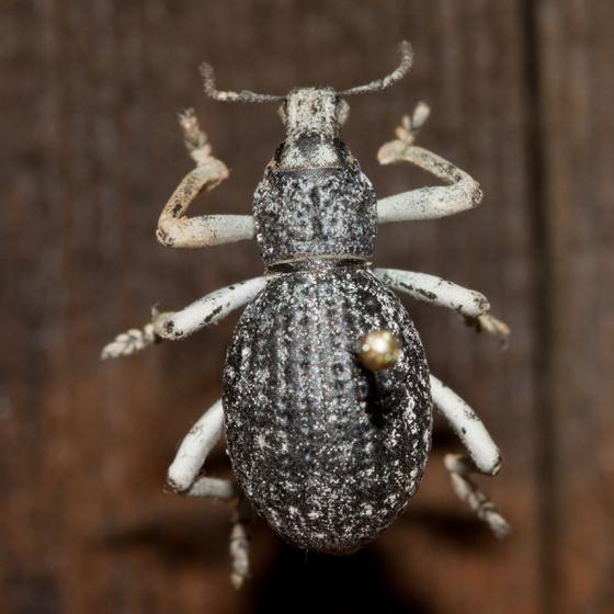 Large weevil - Ophryastes argentatus