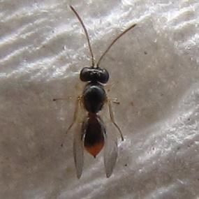 Gall wasp 2 - Andricus quercuslanigera