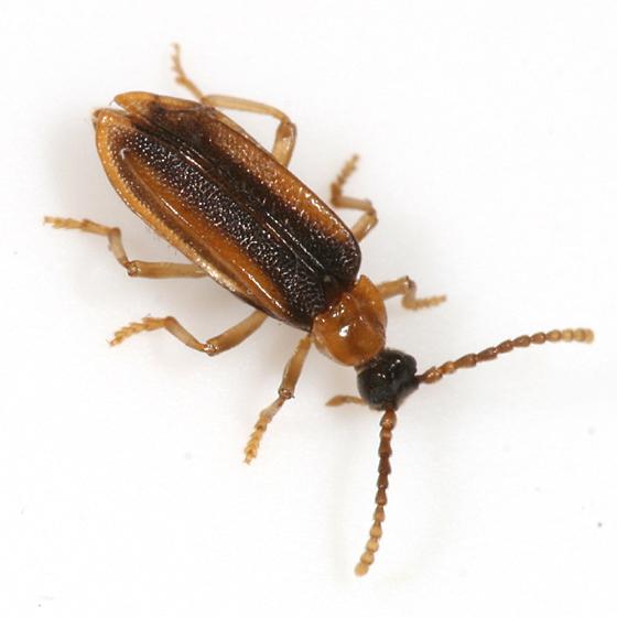 Black and orange beetle - Ischalia costata