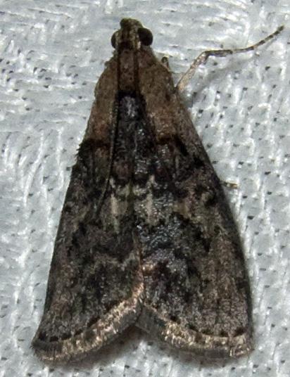 Unidentified Pyralid 2 - Pococera