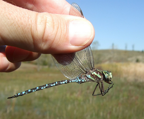 Green-striped Darner - Aeshna verticalis - male