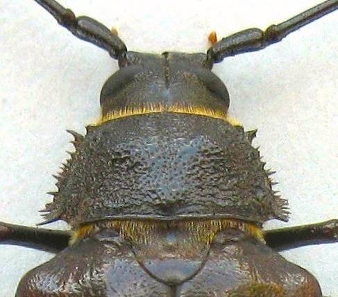 Female Ponderous Borer - Trichocnemis spiculatus - female