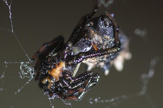 Spined Micrathena ventral - Micrathena gracilis - female