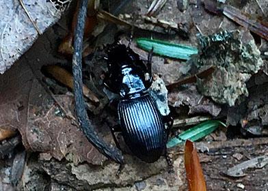 Ground Beetle - Pterostichus rostratus