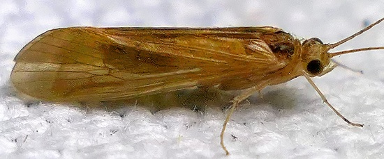 golden caddisfly - Potamyia flava