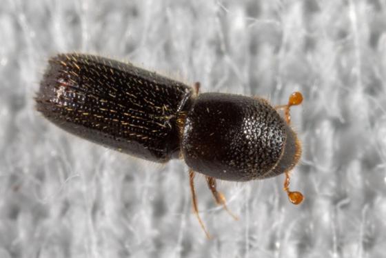 Beetle with short orange antennae - Xyleborinus attenuatus