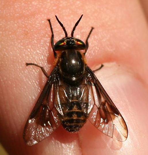 Deer Fly - Chrysops surdus - female