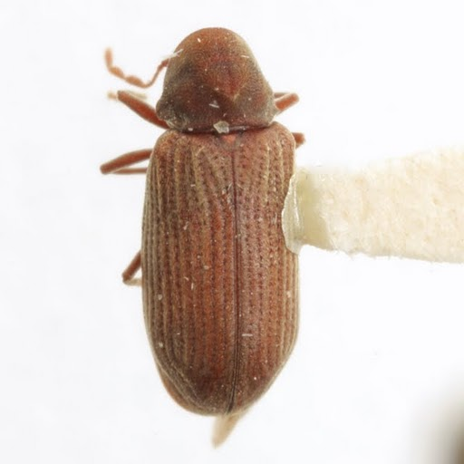 Anobium punctatum (DeGeer) - Anobium punctatum