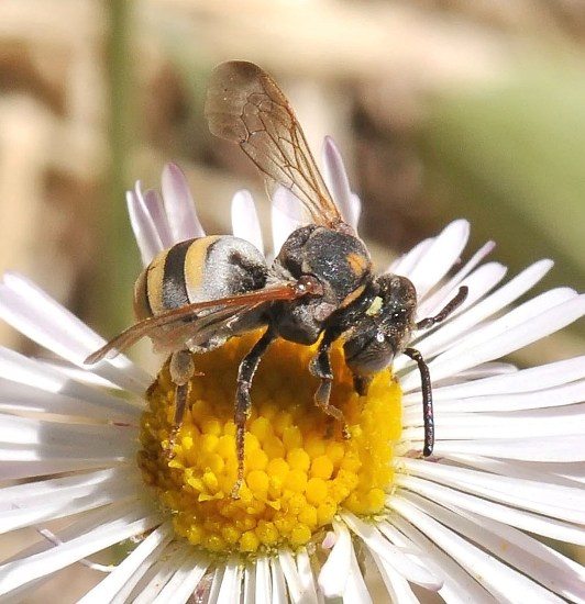 unknown bee - Epeolus splendidus
