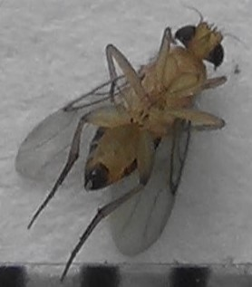 Scuttle Fly with white tip - Megaselia scalaris - male
