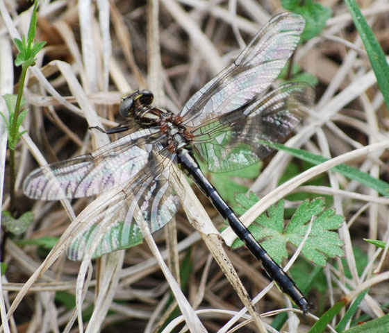 Bad image of unknown Dragonfly 2 - Phanogomphus oklahomensis - female