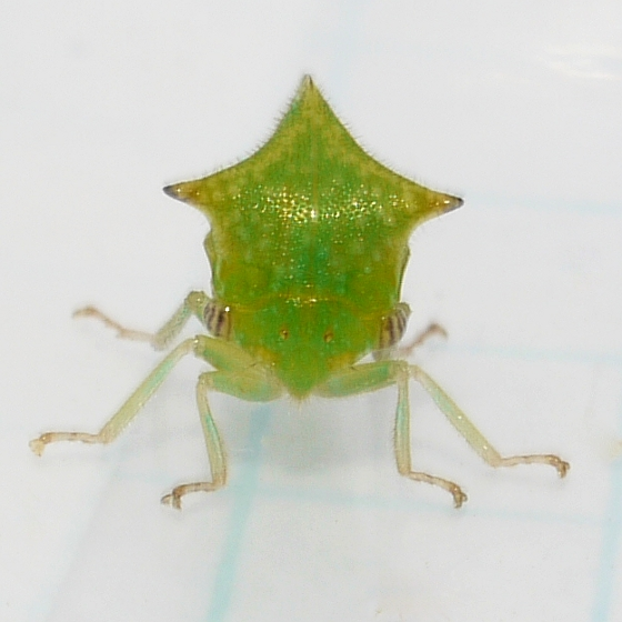 Treehopper - Stictocephala taurina