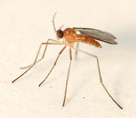 long legged orange fly