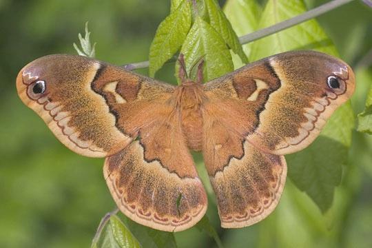 Sweetbay Silk Moth - Callosamia securifera - female