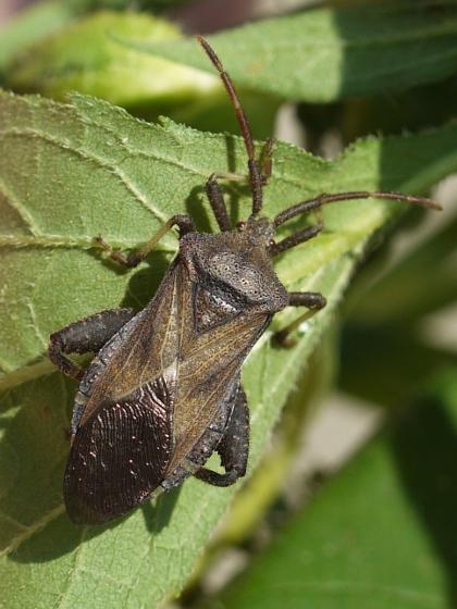 Piezogaster - September 4 - Piezogaster - male