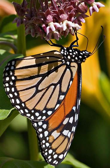 Monarch on Milkweed - Danaus plexippus