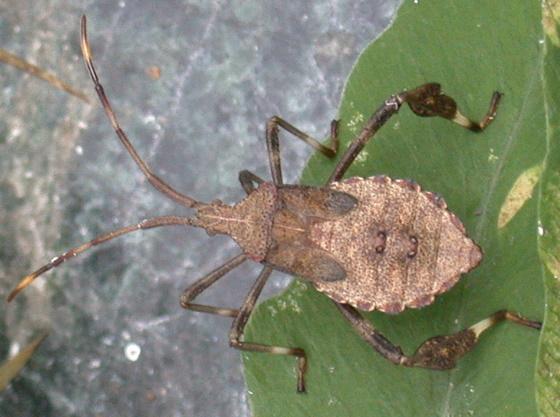 Coreid nymph - Acanthocephala terminalis