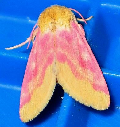 Primrose Moth - Schinia florida