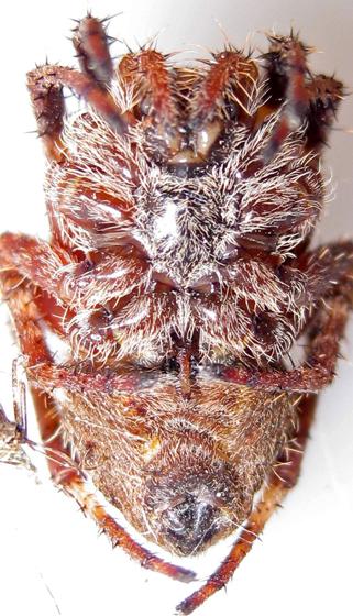 Old Orbweaver - Araneus - female