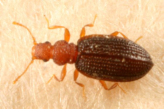 Minute Brown Scavenger Beetle - Dienerella ruficollis
