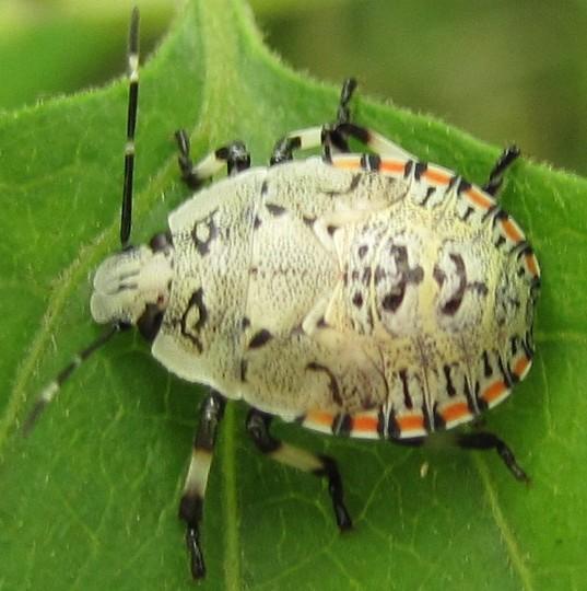 true bug - Apateticus lineolatus