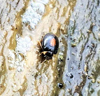 Unknown Water Beetle - Scirtes orbiculatus