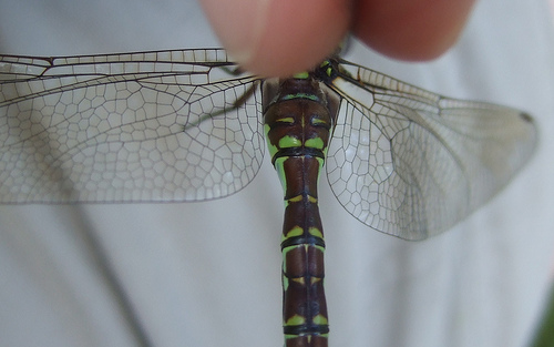 Green-striped Darner - top of thorax - Aeshna verticalis - female