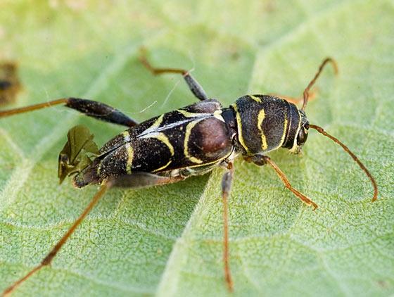 Longhorn beetle - Neoclytus scutellaris